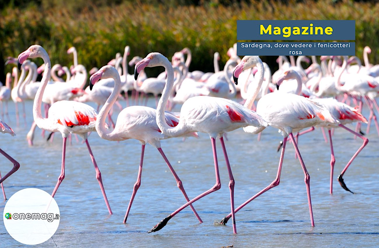 Sardegna, ecco dove vedere i fenicotteri rosa