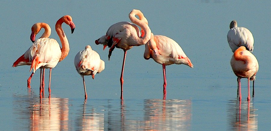 Fenicotteri rosa, Sardegna
