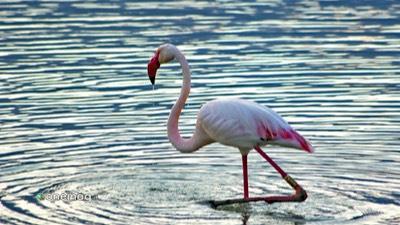Dove vedere i fenicotteri rosa in Sardegna