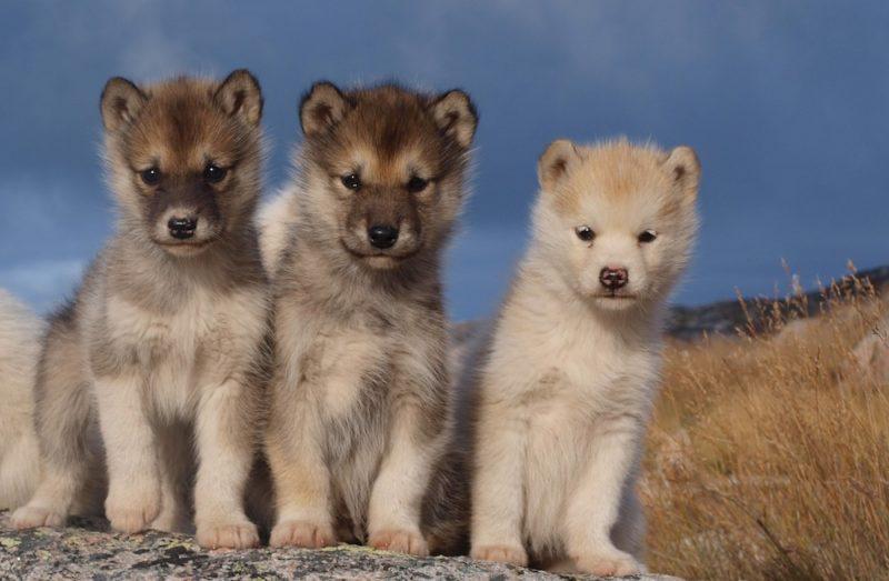 Slitta con i cani in Groenlandia