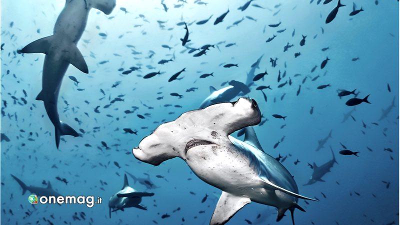 Bajo Alcyone, squalo martello