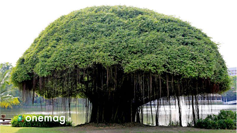 Cosa vedere e fare a Nosy Be, , albero di Banyan
