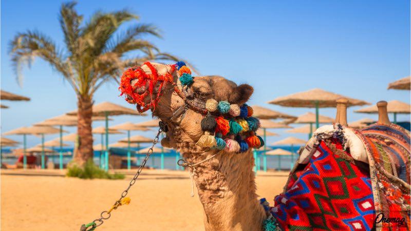Vacanza ad Hurghada, cammello in spiaggia