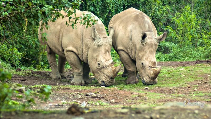 Rinoceronte_Ujung_Kulon