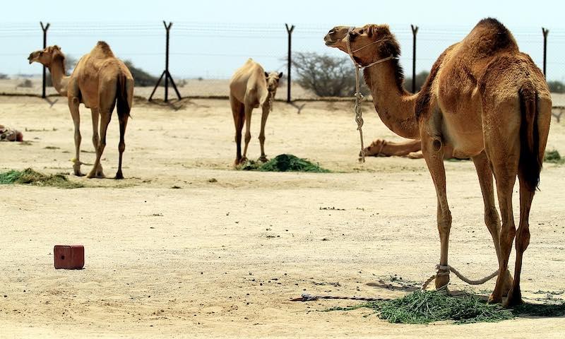 Qatar, cammelli nel deserto