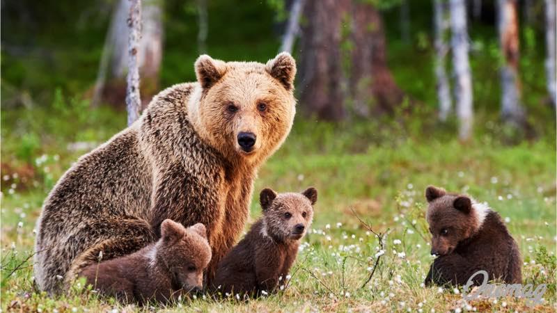 Finlandia e il simbolo nazionale orso bruno