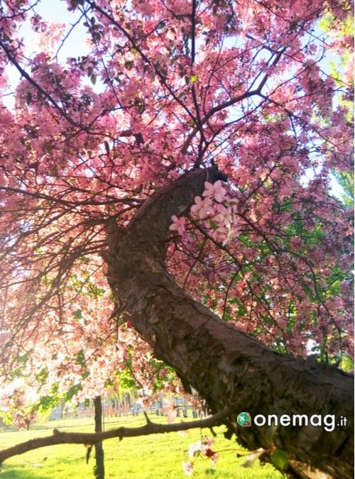 Cosa vedere a Osaka, ciliegio in fioritura