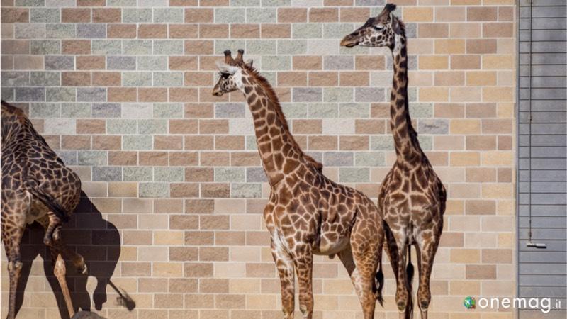 Lo zoo di Sacramento, giraffe
