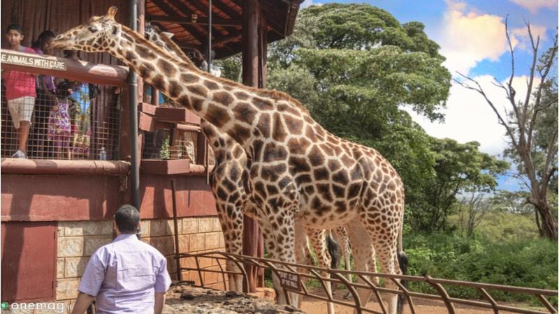 Le 10 cose da vedere a Nairobi, il Giraffe Centre
