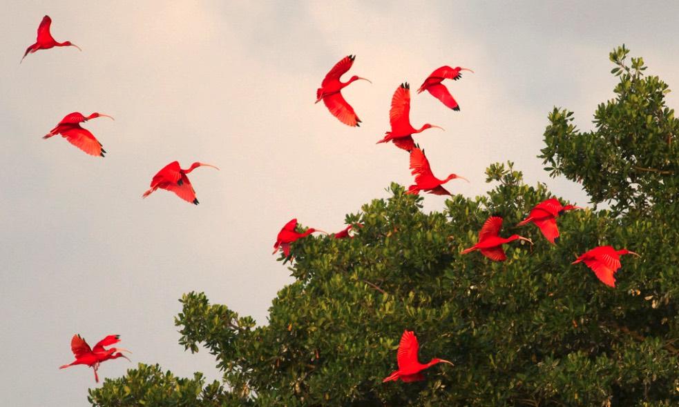 Cosa vedere a Trinidad, Caroni Bird Sanctuary - Esemplari di ibis scarlatti, l'uccello nazionale di Trinidad e Tobago