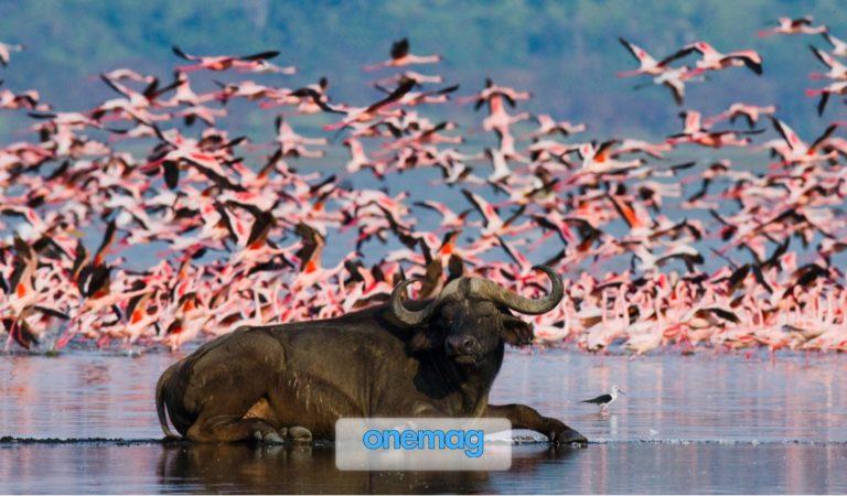 Lago Nakuru, Kenya: il miglior luogo in Africa per ammirare la fauna selvatica