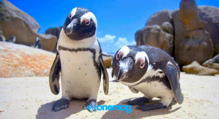 Pinguini Africani di Boulders Beach, Sudafrica